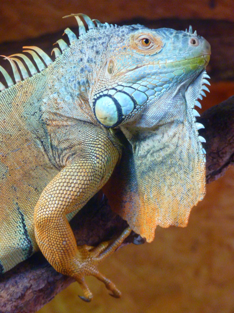 What Causes Falling Iguanas and What To Do About Them